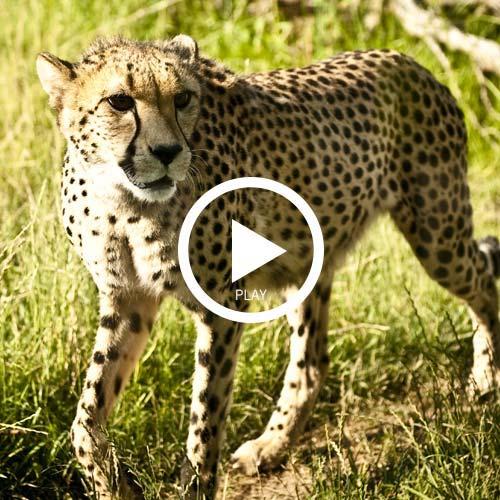 Wild ones cheetahs videoplay