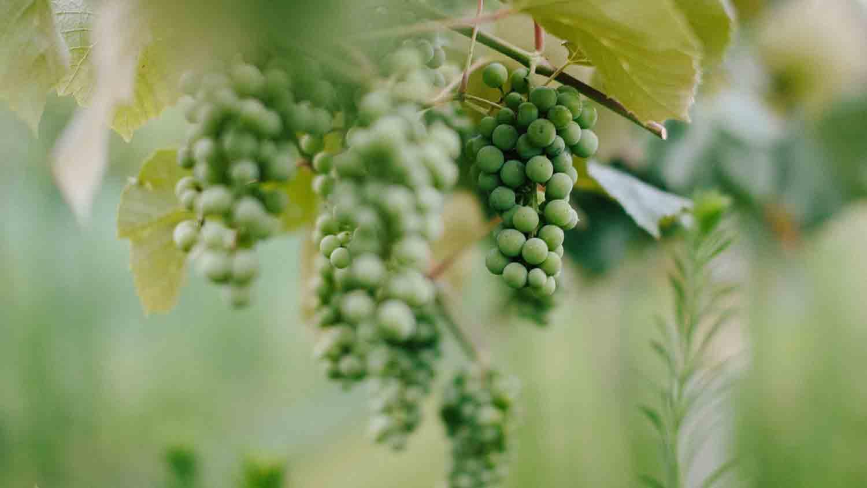 Daniel's Family Vineyard & Winery 12