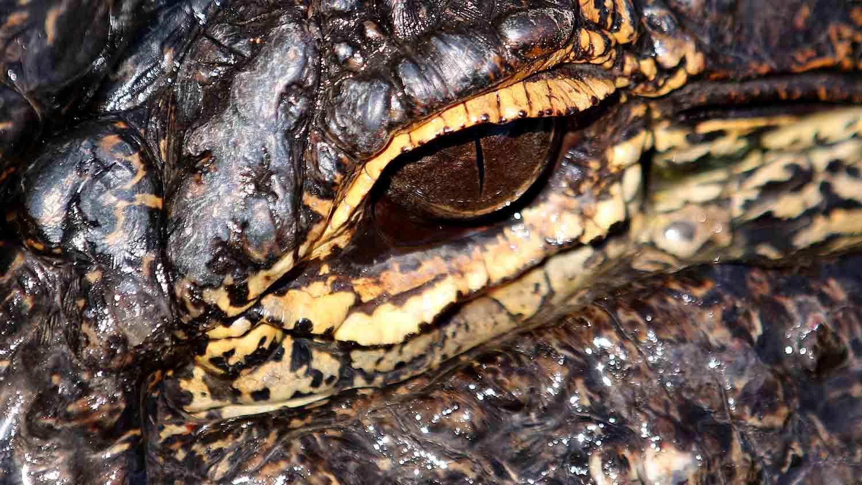 Alligators & Crocodiles - The Fight to Survive 2